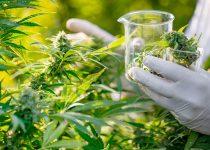 Marijuana-scientific-experiment